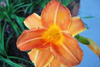 Orange daylilly