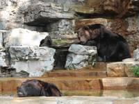 St. Louis Zoo Bears