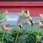 """Dry Lotus Leaves, Tokyo 2007"" by telophase"