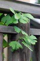 Ginkgo Leaves, Koyasan 2007