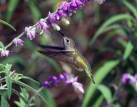 hummingbirds 0022