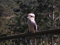 Kookaburra On The Fence