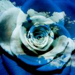 """""""a rose is a rose is a rose.."""" by dabobabo"""