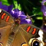 """""""Buckeye Butterfly"""" by DickGoodman"""