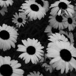 """Black and White Daisies"" by epitome"