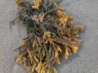 Yellow Seaweed