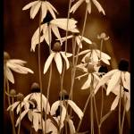 """""""Sunflowers in Sepia"""" by mgalle"""