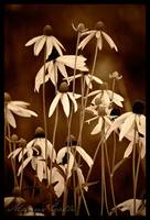 Sunflowers in Sepia
