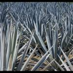 """Blue Agave field"" by mgalle"