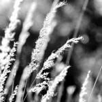 """""""Grasses"""" by Calpurnius"""