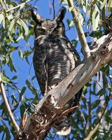 Horned owl carrizo