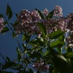 """Dramatic Lilac"" by JBCPhotoDesign"