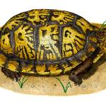 """Eastern Box Turtle"" by inkart"