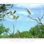 """Snowy Egret - Key Largo, FL"" by CCordelia"