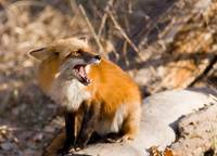 Red Fox Defending Meal