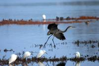 Blue Heron and Egrets