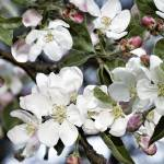 """Apple Blossom Time"" by GraceyStinson"