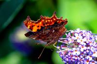 The Comma Butterfly
