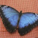 """Big Blue Butterfly"" by simonevanbergen"