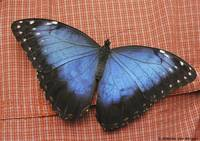 Big Blue Butterfly