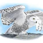 """""""Snowy Owl"""" by inkart"""