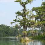 """Cypress Tree (IMG_1652)"" by jvandyke"