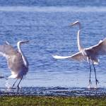 """egret"" by mdutin"