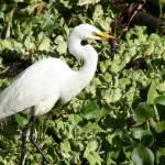 """Great Egret (IMG_1336)"" by jvandyke"