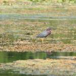 """Green Heron (IMG_1628)"" by jvandyke"