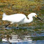 """Snowy Egret (IMG_1634a)"" by jvandyke"