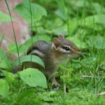 """Chipmunk (IMG_3824)"" by jvandyke"