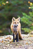 Algonquin Park - Red Fox