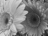 gerber daisy black and white