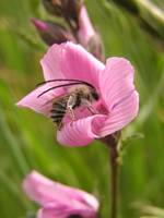 Alkali Bee on a Mallow Flower