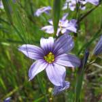 """Blue Eyed Grass"" by amywolitzer"