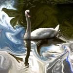 """swan"" by aylin"