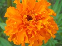 orange profusion