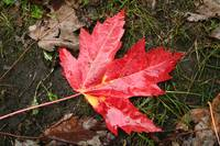 Wet Maple Leaf