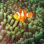 """Clownfish"" by photosbypiers"