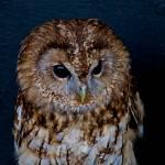 """Evil Owl (1)"" by theamarteurphotographer"
