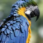 """Blue and Gold Macaw"" by heionaurora"