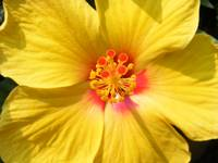 Sunshine yellow hibiscus