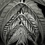"""Sepia Leaves"" by rquevenco"