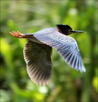 Flight of the Green Heron