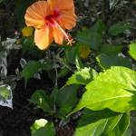 """""""Hibiscus Glow"""" by ChrisCrowley"""