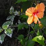 """""""Hibiscus in the Leaves"""" by ChrisCrowley"""