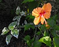 Hibiscus in the Leaves