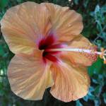 """""""Peach Hibiscus"""" by ChrisCrowley"""