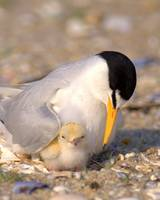 Endangered Least Tern With Chick