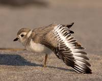 Piping Plover Fledgling ~ Critically  Endangered S